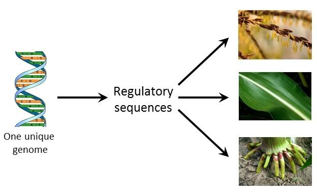 Maize transcriptional enhancers