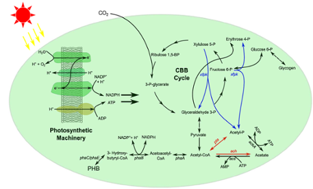 Overview of the metabolism of Synechocystis sp. PCC6803 engineered for PHB production